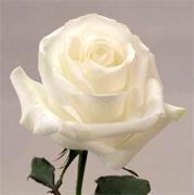 Rosas Por Mayor Estados Unidos Rosas Flores Estados Unidos Rosas
